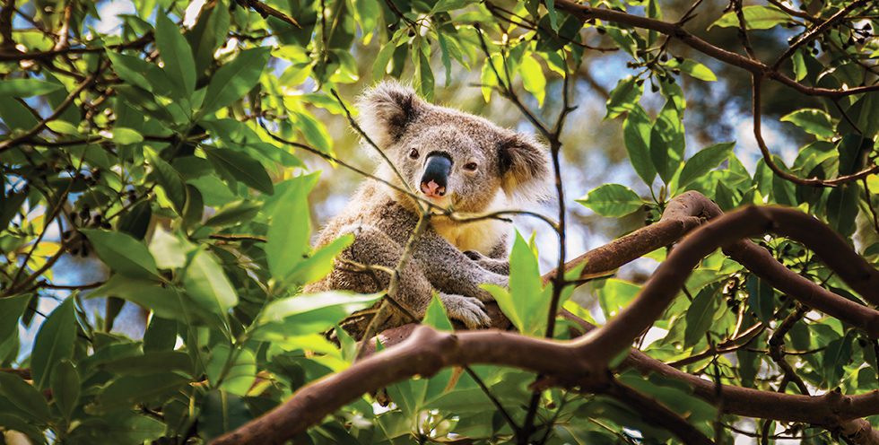 Some key eucalyptus species, such as the Ribbon Gum, are an important food source for koalas.